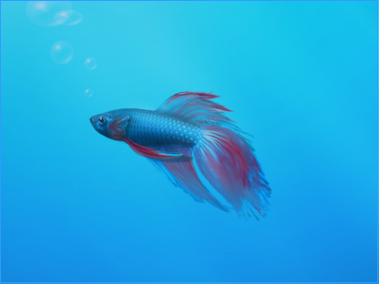The Betta Siamese Fighting Fish